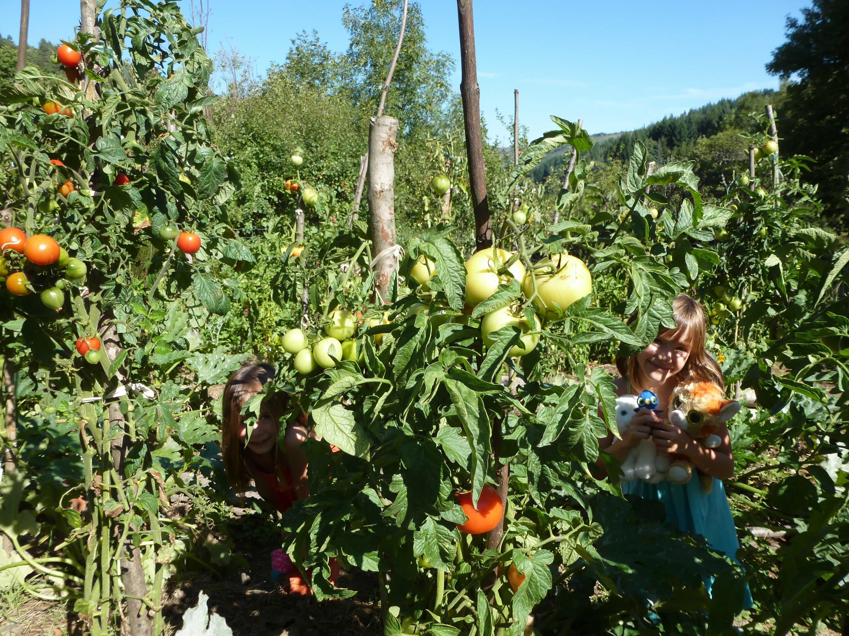 Les jardins en partage: récolte de tomates